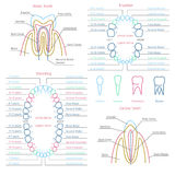 Adult and baby tooth dental anatomy vector Royalty Free Stock Image