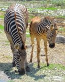 Pair of Zebras. Taken at a wildlife refuge in southern Texas, a pair of Zebras; Mother and Baby royalty free stock image