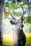 Cervidae. Adult background belarus big cervidae deer field foggy forest horns landscape noble red single snow snowy stag trophy wildlife wild beautiful horn fur Stock Image
