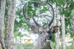 Cervidae. Adult background belarus big cervidae deer field foggy forest horns landscape noble red single snow snowy stag trophy wildlife wild beautiful horn fur Stock Photo