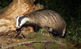 Adult Badger, Meles Meles, foraging on a log in a UK forest. Adult badger meles meles foraging on a log in the forest. Head up and surrounded by fallen tree and Royalty Free Stock Photography