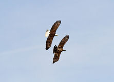 Adult Bald Eagle chasing a Juvenile. Royalty Free Stock Images