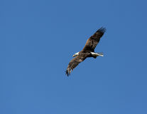 Adult Bald Eagle in Flight. Banking at an angle over Kansas lake Royalty Free Stock Photography
