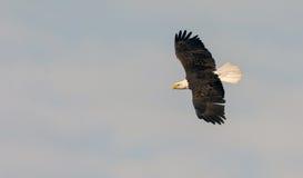 Adult bald eagle Stock Photos