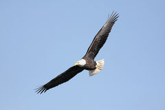 Adult Bald Eagle (haliaeetus leucocephalus) Stock Images