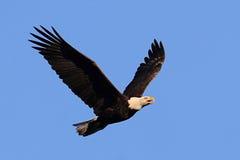 Adult Bald Eagle (haliaeetus leucocephalus) Stock Photos