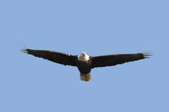 Adult Bald Eagle (haliaeetus leucocephalus) Stock Photos