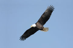 Adult Bald Eagle (haliaeetus leucocephalus) Royalty Free Stock Images