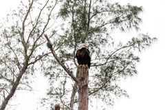 Adult bald eagle Haliaeetus leucocephalus. Stands guard near his nest on Marco Island, Florida in the winter Royalty Free Stock Images