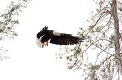 Adult bald eagle Haliaeetus leucocephalus. Stands guard near his nest on Marco Island, Florida in the winter Stock Image