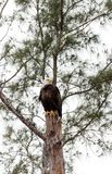 Adult bald eagle Haliaeetus leucocephalus. Stands guard near his nest on Marco Island, Florida in the winter Stock Images
