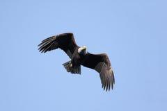 Adult Bald Eagle (haliaeetus leucocephalus) Royalty Free Stock Photography