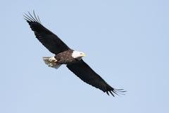 Adult Bald Eagle (haliaeetus leucocephalus) Royalty Free Stock Images