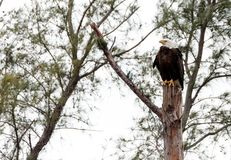 Adult bald eagle Haliaeetus leucocephalus. Stands guard near his nest on Marco Island, Florida in the winter Stock Photo