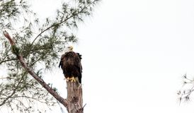 Adult bald eagle Haliaeetus leucocephalus. Stands guard near his nest on Marco Island, Florida in the winter Stock Photos