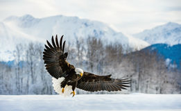 Adult Bald Eagle Haliaeetus leucocephalus washingtoniensis in flight Royalty Free Stock Image