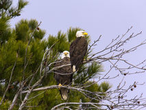 Adult bald eagle pair in tree royalty free stock photography