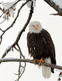 Adult Bald eagle perched on branch Royalty Free Stock Photography