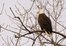 Adult bald eagle Stock Photo