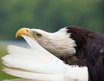 Adult bald eagle preening Royalty Free Stock Photos