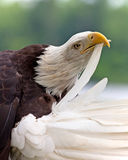 Adult Bald Eagle preening Royalty Free Stock Image