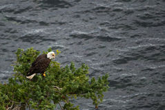 Adult bald eagle sitting in tree Stock Image