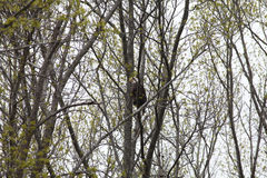 Adult Bald Eagle sitting in a wooded area Stock Photography