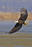 Adult Bald Eagle wings spread with fish image Royalty Free Stock Image