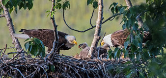 Adult bald eagles feed their chicks Stock Photography