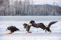 The Adult Bald eagles sits on snow and eat salmon fish Stock Image