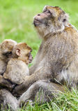 Adult Barbary Macaque (Macaca sylvanus)  Boding with two young J Stock Photography