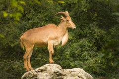 Adult Barbary Sheep on a rock Royalty Free Stock Photos