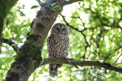 Adult barred owl Stock Images