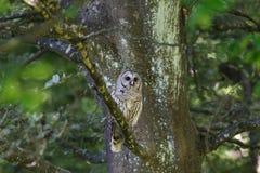 Adult barred owl Stock Image