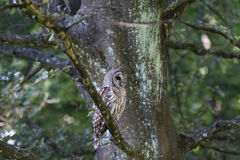 Adult barred owl Royalty Free Stock Photography