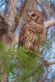 Adult Barred Owl Stock Photo