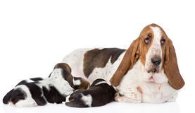 Adult basset hound dog feeds the puppies. on white.  stock photo