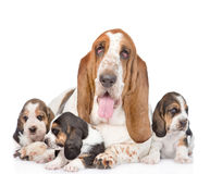 Adult basset hound dog and puppies. isolated on white background Stock Image