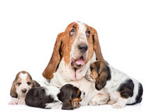 Adult basset hound dog and puppies. isolated on white background Royalty Free Stock Photography