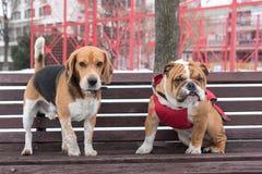 Adult beagle and English bulldog pup Royalty Free Stock Photo