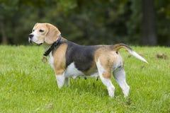 Adult Beagle Female stock photo