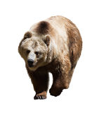 Adult bear. Isolated  on white background Stock Photos