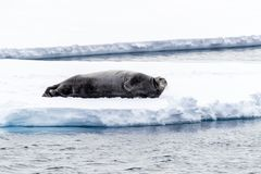 Adult bearded seal reclines on an ice floe in Svalbard. A Norwegian archipelago between mainland Norway and the North Pole stock image