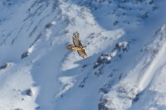 Adult bearded vulture gypaetus barbatus in flight with mountai Royalty Free Stock Photos