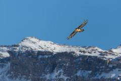 Adult bearded vulture gypaetus barbatus in flight, mountains, stock photography