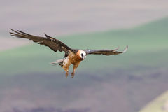 Adult bearded vulture landing on rock ledge where bones are avai Royalty Free Stock Image
