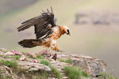 Adult bearded vulture landing on rock ledge where bones are avai Stock Photos