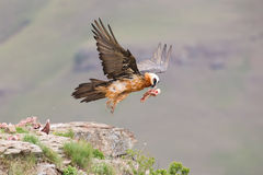 Adult bearded vulture take off from mountain after finding food Stock Photos