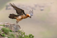 Adult bearded vulture take off from mountain after finding food Royalty Free Stock Photography