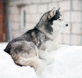 Husky dog in the snow Royalty Free Stock Images